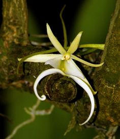 ghost orchids plants and flowers   Ghost Orchid (Dendrophylax lindenii)