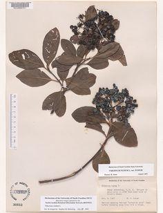 Viburnum_nudum Resources for Art Students at CAPI::: Create Art Portfolio Ideas milliande.com, Art School Portfolio Work, , Botanical, Flowers, Plants, Leaves, Leaf, Stem Seed, Sketching, Herbarium