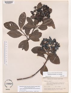 Viburnum_nudum Resources for Art Students at CAPI::: Create Art Portfolio Ideas milliande.com, Art School Portfolio Work, , Botanical, Flowers, Plants, Leaves, Leaf, Stem Seed, Sketching, Herbarium