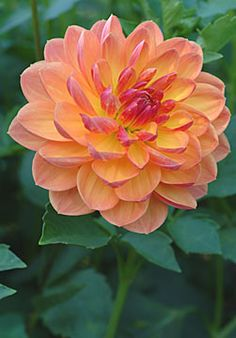 """Dahlias - Pam Howden = 6"""" bloom on a 3' plant"""