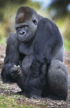 and I'll KEEP sitting on his head until he pukes up the TAX Returns. Silverback Gorilla, Chimpanzee, Orangutans, Animals And Pets, Baby Animals, Cute Animals, Primates, Melbourne Zoo, Hilarious Animals
