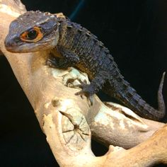 Crocodile skink from my dad's store. It looks like a little dragon :)