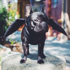 Funny French Bulldogs are the real Internet Stars! Check out the top French Bulldog Halloween costumes to inspire from! French Bulldog Halloween Costumes, French Bulldog Costume, Bat Dog, Dog Cat, French Bulldog Puppies, Funny French Bulldogs, Pet Costumes, Cute Dogs, Cute Animals