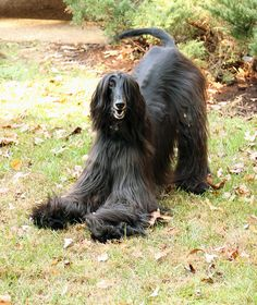 Afghan Hound - Tyson Playing in the yard by ~alipkind on deviantART