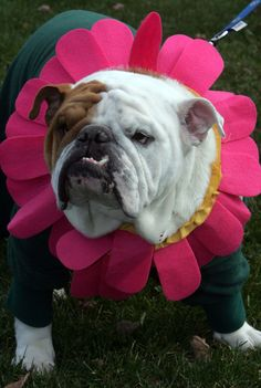 English Bulldog owners held a Halloween gathering for their dogs at