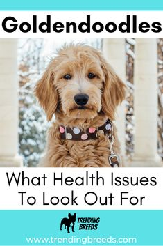 While Goldendoodles are a relatively healthy breed with a long life span, no dog has perfect health. Do they have health issues? What problems are common with Goldendoodles? Goldendoodle Full Grown, Medium Goldendoodle, Goldendoodle Haircuts, F1b Mini Goldendoodle, Standard Goldendoodle, Goldendoodle Grooming, Goldendoodles, Labradoodles, Dog Care Tips