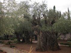Olive trees outside Jerusalem