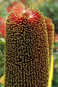✭ A close view of a Banksia Flower I love the Banksia seed pods. I do free form carving on some and use altered slices in my jewelry. So incredible.
