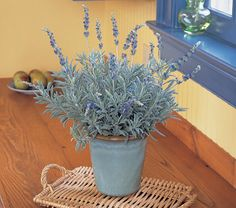 Unlike most garden Lavenders, this tender variety thrives indoors and will throw spikes of deep blue flowers above mounds of pungently fragrant foliage