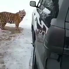 Even big cats just want to play Funny Animal Videos, Cute Funny Animals, Cute Baby Animals, Animals And Pets, Cute Cats, Funny Cats, Funny Tiger, Zoo Animals, Videos Funny