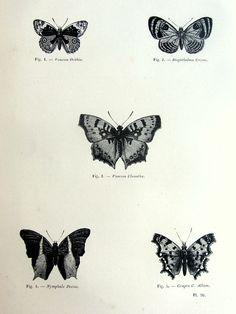 Splendida farfalla vintage print, antiquariato originale 1860 lepidotteri francese incisione, papillons piastra illustrazione, entomologia di