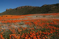 Namaqualand Flowers, South Africa