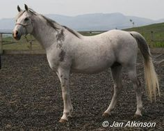 The Abeyan strain is very similar to the Seglawi.  They tended to be refined.  The pure in strain Abeyan would often have a longer back than a typical Arabian.  They were small horses, seldom above 14.2 hands, commonly gray and carried more white markings than other strains.