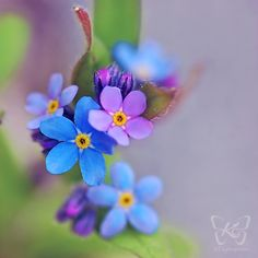 One more of my forget me not flowers. Yes and I have really purple ones between the blue ones. Flowers Nature, Exotic Flowers, Amazing Flowers, Little Flowers, Small Flowers, Pretty Flowers, The Colour Of Spring, Forever Flowers, Types Of Flowers