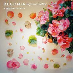 La #Begonia es una de las #plantas de #flor más resistentes que hay , a la vez de la alegría que imprime... Por eso queremos dedicársela a la campaña de @juegaterapiaorg  #resistiré en el día del cáncer infantil y mandar todo nuestro cariño y fuerza a todas las familias implicadas en ella.   -  #lospeñotes #lovinglife #cancer