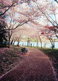 A path of blossoms by Lindeberg Feller, Washington DC.