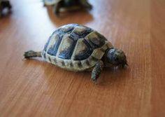 Sprzedam żółwie lądowe greckie CITES dowóz cała Polska żółw