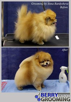 Beautifully groomed Pomeranian