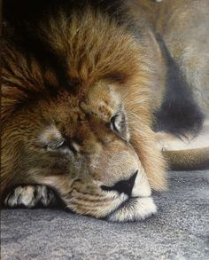 Sleeping Lion. Realistic Animal Paintings more than a Photo Image. To see more art and information about Nick Sider click the image.