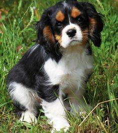 Cavalier King Spaniel, Cocker Spaniel Puppies, Spaniel Dog, Baby Puppies, Cute Puppies, Cute Dogs, Teacup Puppies, King Charles Puppy, King Charles Spaniel