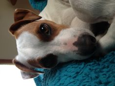 Lucy-Jack Russell