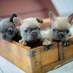 French Bulldog Puppies, by @perfectlychic on instagram.