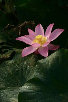 Water Flowers, Water Lilies, Lotus Flower Mandala, Lotus Flowers, Lotus Wallpaper, Water Fairy, Lotus Art, Boho Aesthetic, Seed Pods