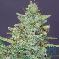 Barneys Farm Red Diesel Feminised Cannabis Seeds: East coast meets West coast with this great blend of NYC Diesel and Californian indica. The result is a broad-shouldered, powerful plant; hard-working and hard-wearing. The THC levels are good and high and the indica-dominant colas swell like marbles of dark honey as this plant spreads it's wings.