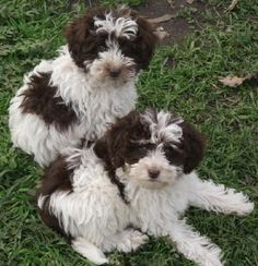 Schnoodle. This is the exact dog I want: hypoallergenic Millie dog. :)