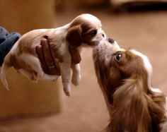 Cavalier King Charles mommy kissing her baby