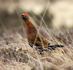 Red Grouse (Mike Brown)
