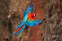 Red-and-green Macaw (Ara chloropterus) by Octavio Campos Salles on 500px