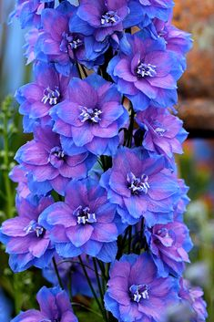 Specializing in rare and unusual annual and perennial plants, including cottage garden heirlooms and hard to find California native wildflowers. Delphinium Flowers, Purple Flowers, Delphiniums, Blue Garden, Fruit Garden, Nothing But Flowers, Garden Bird Feeders, Annual Plants, Container Flowers