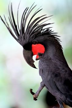 Black Palm Cockatoo. We used to have one of these at the Kookaburra's Nest.