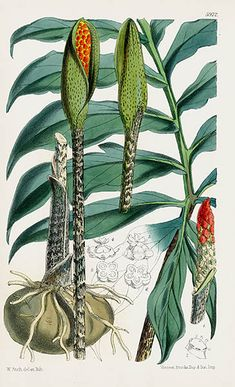 Walter Hood Fitch Curtis Palms, Pineapples, Exotics