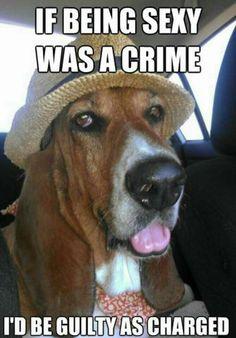 Yes!  The Bassett Hound!