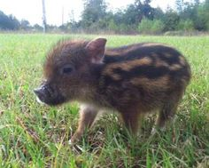 Move over Pot Belly pigs, there is a new pet pig craze going on, this time the pigs are smaller and have stripes. They are the Chipmunk Pig.  This little piggy has stripes like a Chipmunk and weighs under 15 pounds when full grown. They are