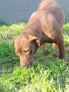 Mocha~ Pit Bull Terrier Mix • Adult • Female • Large Washington Wilkes Humane Animal Shelter Washington, GA