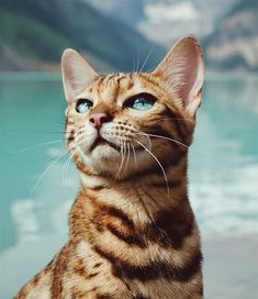 Bengal Cat Gallery - Cat's Nine Lives The Animals, Warrior Cats, Cute Cats And Kittens, Kittens Cutest, Kitty Cats, Ragdoll Kittens, White Kittens, Ragdoll Cats, Black Cats