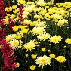 Leucanthemum x superbum Goldfinch