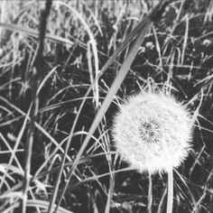 Alone but not lonely - Pusteblume