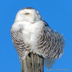 Female Snowy Owl!