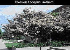 Thornless Cockspur Hawthorn