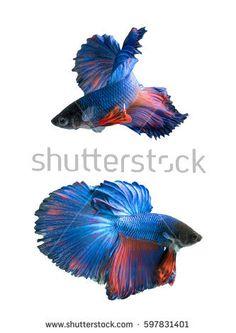 Blue  Halfmoon Betta splendens or siamese fighting fish isolated on white background
