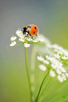 LADYBUG on flower Coccinelle macro photo - mariehøne photo Beautiful Bugs, Beautiful Butterflies, Beautiful Flowers, Macro Fotografie, Fotografia Macro, Beautiful Creatures, Animals Beautiful, Cute Animals, Bugs And Insects