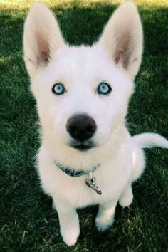 Stunning bright blue eyes on this beautiful white doggie!