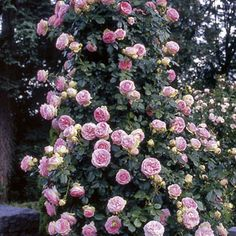 Eden™ Climbing Rose -Armloads of Pastel-Hued Blooms All Summer!  Looks like an English rose, but blooms like a modern.  Superbly disease resistant, heat tolerant.  Seems like a MUST try!!