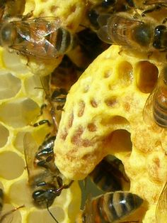 ...building Queen Bee cells...