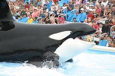 1971 The first orka named Shamu (SeaWorld show) dies - Wikipedia
