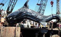 12mのジンベイザメ